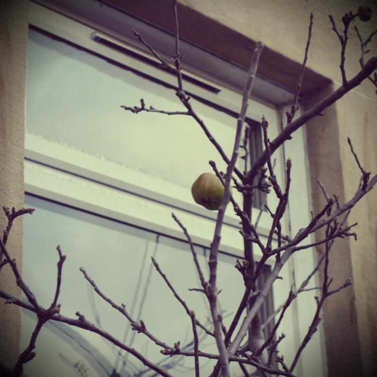 urban apple tree