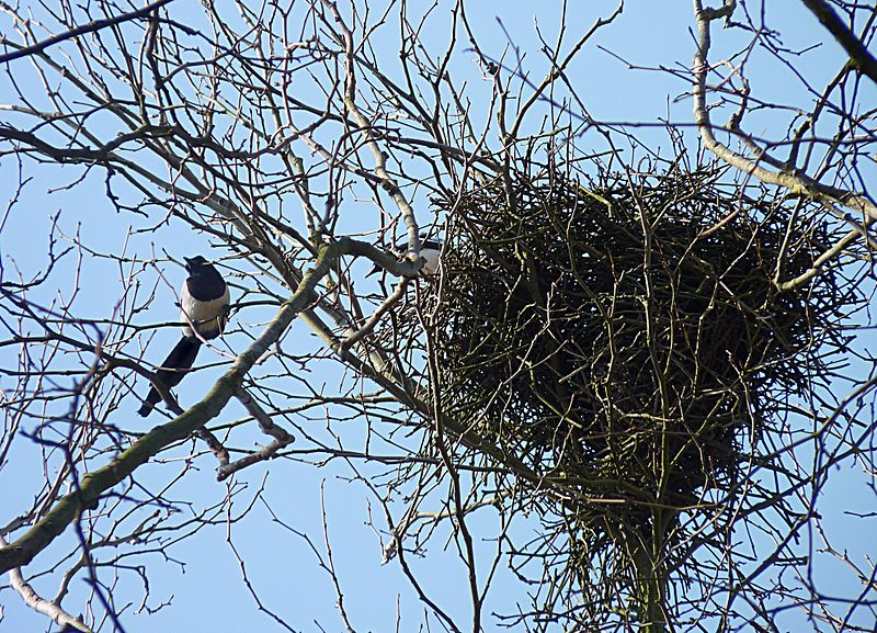 800px-Magpies_near_their_nest_J1